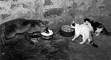 zorro-y-gatos